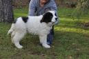 Zdjęcie 12 - Zakątek BERNA - hodowla Berneńskiego Psa Pasterskiego i Landseera