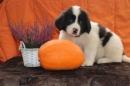 Zdjęcie 9 - Zakątek BERNA - hodowla Berneńskiego Psa Pasterskiego i Landseera