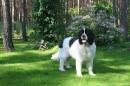 Zdjęcie 14 - Zakątek BERNA - hodowla Berneńskiego Psa Pasterskiego i Landseera