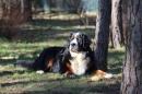 Zdjęcie 8 - Zakątek BERNA - hodowla Berneńskiego Psa Pasterskiego i Landseera