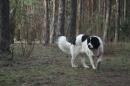 Zdjęcie 28 - Zakątek BERNA - hodowla Berneńskiego Psa Pasterskiego i Landseera