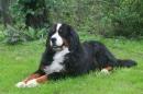 Zdjęcie 16 - Zakątek BERNA - hodowla Berneńskiego Psa Pasterskiego i Landseera