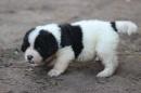Zdjęcie 1 - Zakątek BERNA - hodowla Berneńskiego Psa Pasterskiego i Landseera