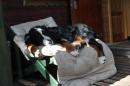 Zdjęcie 7 - Zakątek BERNA - hodowla Berneńskiego Psa Pasterskiego i Landseera